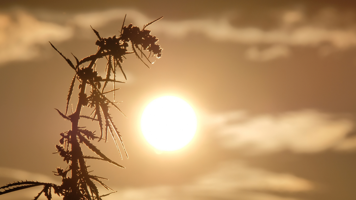 Silhouettes the tops of wild hemp with inflorescence and seeds against the beautiful evening sky. Cannabis leaned toward the sun. Background for design of the legalization or prohibition of marijuana